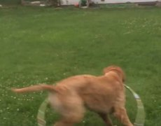 Tierno momento cuando perro intenta jugar con un hula hula