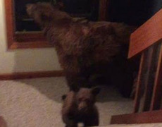 #VIRAL - Baby and Mom bear walking indoors in California