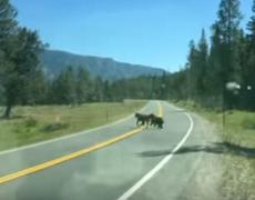 #VIDEO - Attack of a bear a cow