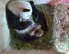 #CUTE - Panda gives birth to twins at a zoo in Vienna
