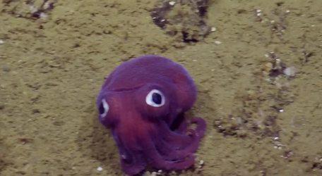 #VIRAL - Parece un juguete, pero es una rara especie marina que fue encontrada en California