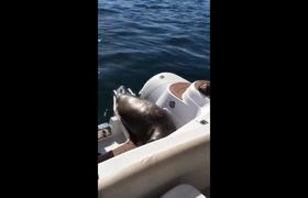 #VIDEO: Astute seal is saved from being lunch for a group of hungry orcas