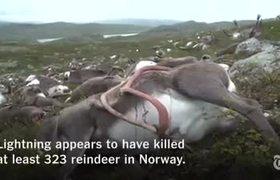 Lightning strike killed more than 300 reindeer in Norway