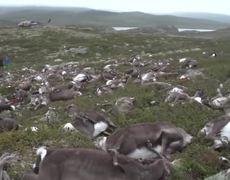 More Than 300 Reindeer Killed in Lightning Storm