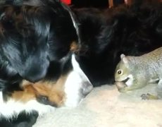 OMG Squirrel hides nuts in a Bernese Mountain dogs fur