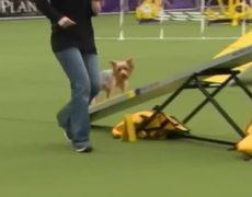 Mixedbreed dogs debut at Westminster dog show in New York