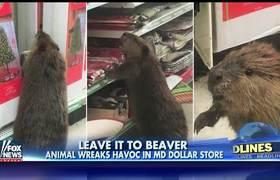 Castor hace estragos en tienda de un Dolar