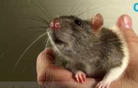 Scientists Discover Rat Emotion Signs