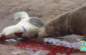 Seal vs car: 200kg fur seal jumps on cars after waddling
