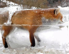 #VIRAL - Fox inside an ice cube