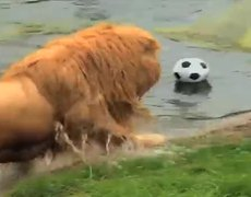 Meet Triton a lion who loves play soccer