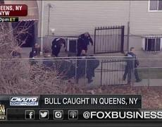 Runaway bull wrangled after wild chase in New York City