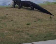 #VIRAL - Huge Alligator Walks Across Golf Course With Big Fish