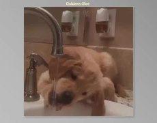 The Cutest Golden Retriever Videos - Part II