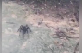 #VIRAL - Giant spider terrorizes tourists in Dominican Republic