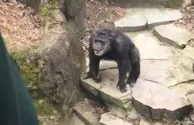 #VIRAL- Chimpancé ataca con CACA a abuela en Zoologico