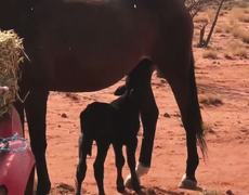 Orphaned calf finds unlikely foster mum in old mare in outback Queensland