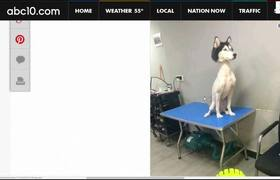 #VIRAL: Husky siberiano rapado se vuelve viral