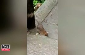 Monkeys Play With Mouse After Rodent Tries to Steal Their Food