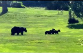 Mama bear keeps close eye on 3 cubs in Hatfield