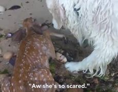 Dog rescued from drowning a deer baby