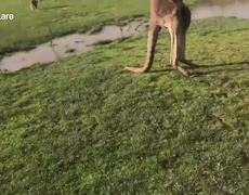 #VIDEO: Kangaroo Punches Boy In The Face and her parents make fun