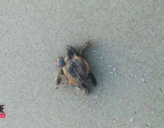 2-Headed Turtle Found on Florida Beach