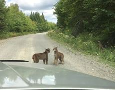 Two Lynx Near Kokadjo Maine