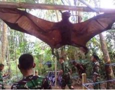 A giant bat of almost 2 meters appears in the Philippines