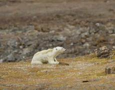 Polar bear undernourished by global warming