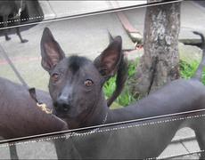 Xoloitzcuintle, el perro mero mero mexicano