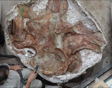 Largest Dinosaur Discovered In Argentina