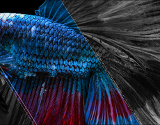 The Miracle Of Tilapia Skin