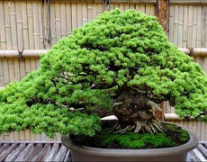 The Bomb and The Bonsai