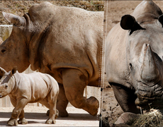 The White Rhino is on the Verge of Extinction