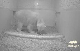 #CUTE: Baby polar bear birth moves everyone