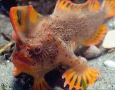 Meet The Fish That Walks