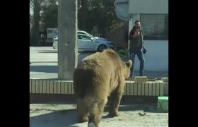 Bear on the loose in Iraq