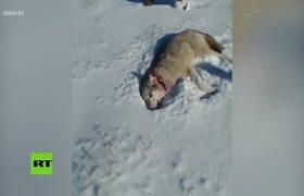 Lobo 'resucita' y ataca a su cazador