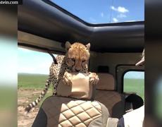 Curious cheetah clambers into safari jeep
