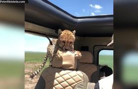 Curious cheetah clambers into safari jeep