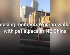 Woman walking with alpaca as pet in NE China