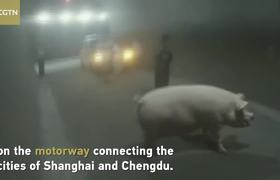 Truck driver fined after 300kg pig jumps out on highway