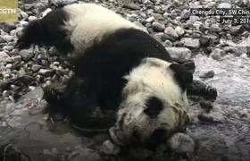 Baby panda killed in terrifying mudslide