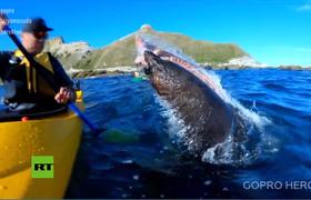 Una foca lo 'abofetea' con un pulpo mientras se divierte en su kayak