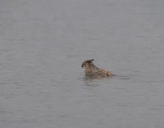 Awesome Nature Owl swimming to escape the hawks