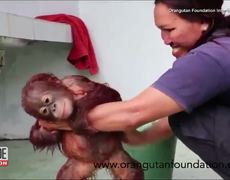 #SOCUTE: Orphaned Baby Orangutan Gets a Bath at Rescue Center