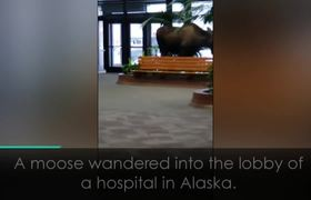 #VIRAL: Moose wanders into hospital reception in Alaska