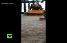 An adult moose enters an Alaskan hospital