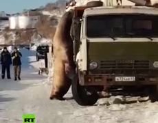 #VIDEO: The 3-meter sea lion tries to steal fish from a truck in Russia